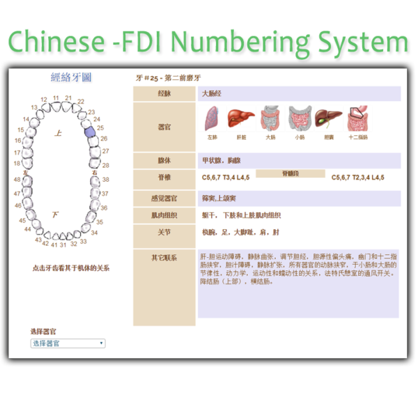 Chinese FDI Meridian Tooth Chart