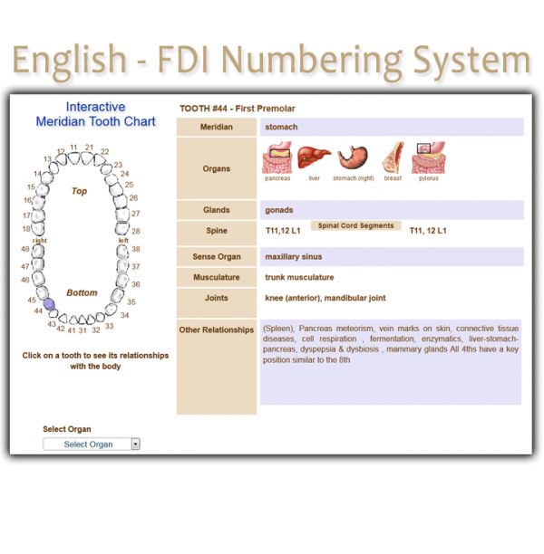 Order English FDI Meridian Tooth Chart