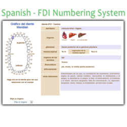Order Spanish FDI Meridian Tooth Chart